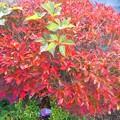 写真: 紅葉~ドウダンツツジ