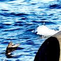 波間の鳥(カモ?)