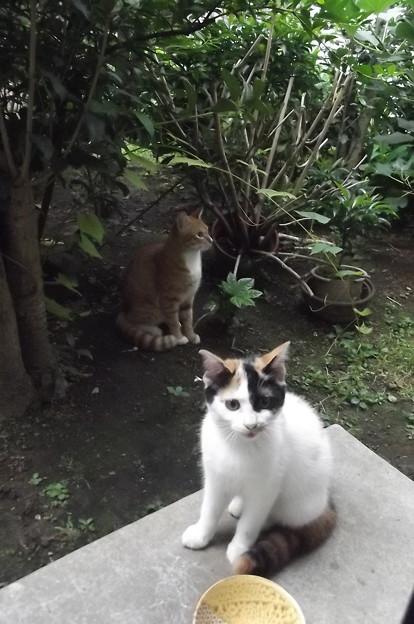 写真: ミニチグ、子ネコ0910