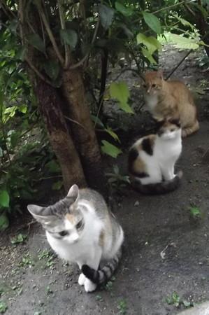 ミケママ、ミニチグ、子ネコ0918